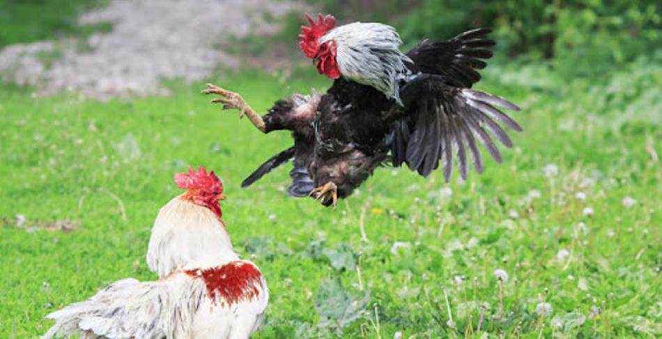 Agen Judi Sabung Ayam Online Terpercaya
